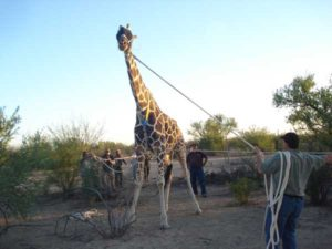 Mike Leading The Giraffe To The Transport Truck