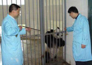 Panda Being Tranquilized Using Dan-Inject Dart Pistol