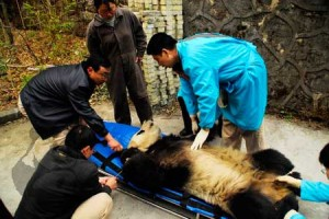 Hermoso Panda Chino, siendo transportado, despues de ser sedado usando el equipo de Dan-Inject Dart Guns.
