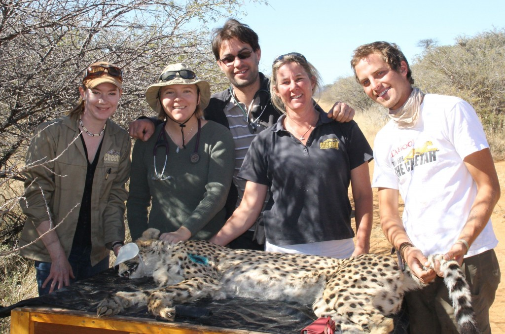 The Cheetah Team With Bella – CCF Veterinary Nurse Rosie Glazier; Dr. Gabriella Flacke; Visiting Veterinarian From France, Dr. Mathieu Werts; Juliette Erdtsieck; And CCF Cheetah Release Supervisor Ryan Sucaet