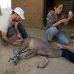 Herbe Monroy Jacobo D.V.M, Administering Medication To The Deer