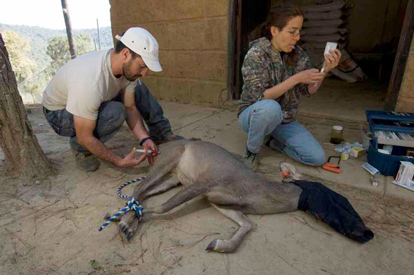 Herbe Monroy Jacobo D.V.M, Administering Medication To The Deer
