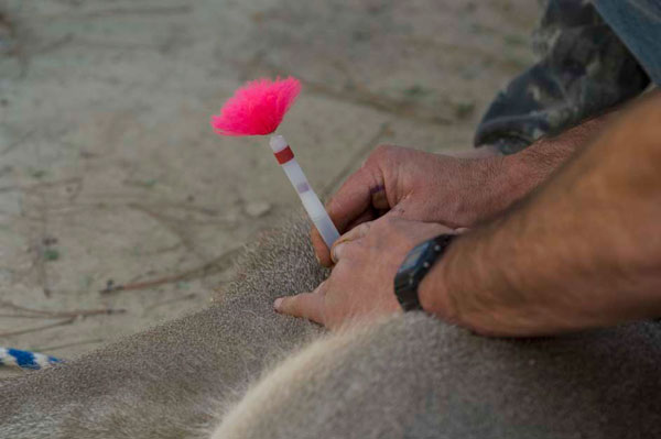 Herbe Monroy Jacobo D.V.M, Removing Dan-Inject Dart From Whitetailed Deer