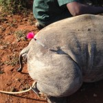 Close Up Of DanInject Dart Used On Rhino