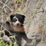 Spotting a spectacled bear in Peru In Attempt To Put GPS Collar