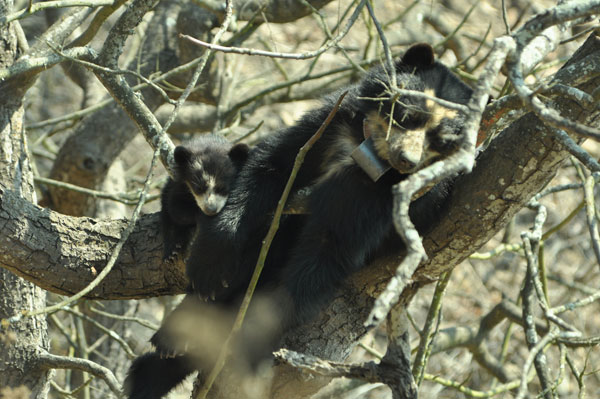 These Are The First Spectacled Bears In Peru With GPS Collars Thanks To Dan-Inject Dart Guns!