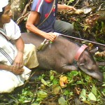 Nativa Foundation After Tranquilizing A Tapir