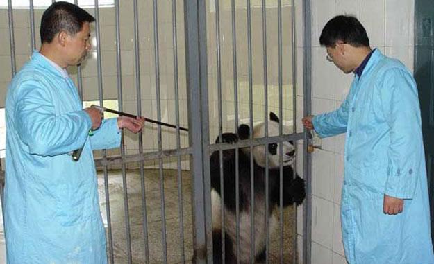The Panda Project Uses Dan-Inject Dart Guns